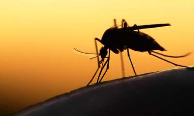 Mosquito Carrying Dengue Fever parasite