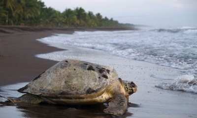 Turtle on Beach at Costa Rica
