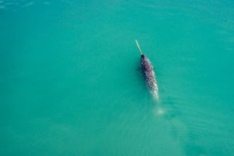 Narwhal from Above