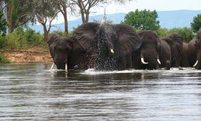 Elephants Crossing a River in Zambia