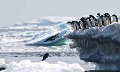 Penguins dive into the ocean at the Danger Islands