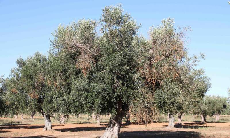 An olive tree affected by Xylella fastidiosa, with visual symptoms of chlorosis and defoliation | Juan A. Navas-Cortes