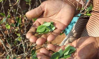 Coca leaves during harvesting Cocaine
