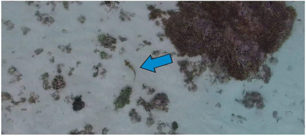 Aerial view from the unmanned aerial vehicle (UAV) while tracking movement and behaviour of an Epaulette shark at an altitude of ~2 m; a shark with an approximate length of 50 cm is indicated by the blue arrow.