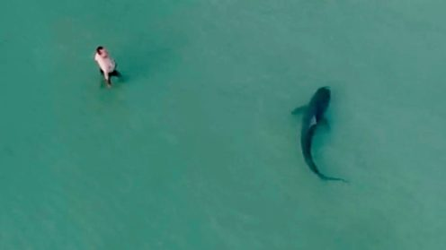 Large shark swimming right past swimmers caught by drone [video]