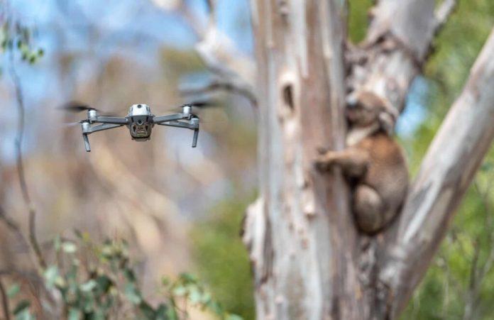 Australia's bushfire Koalas