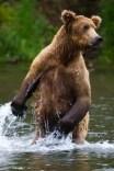 Alaska, No See Um Lodge - Matt Harris, Bear