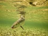 Bonefish in Bahamas