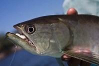 Aruana Brazil fish species