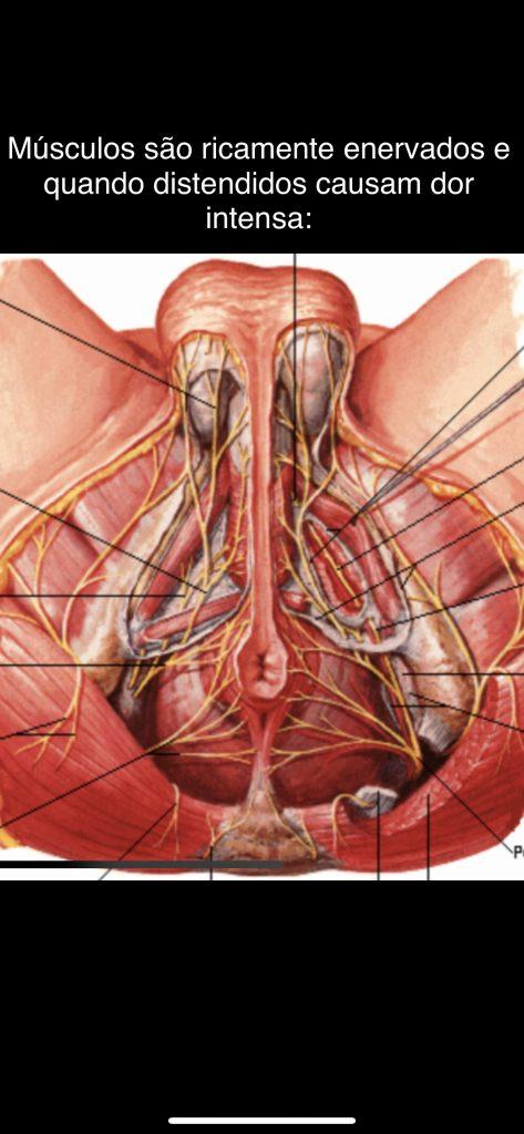 musculos anais e perineais