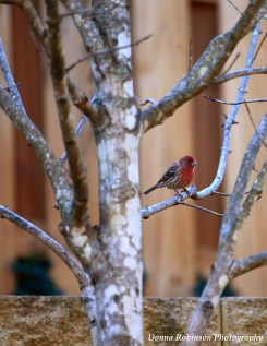 A House Finch waits its turn at the feeder