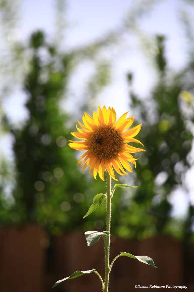 IMG_6255 063018 The Accidental Sunflower