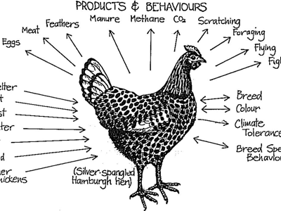 permaculture-chicken-400x300