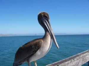 pelican on cayucos pier