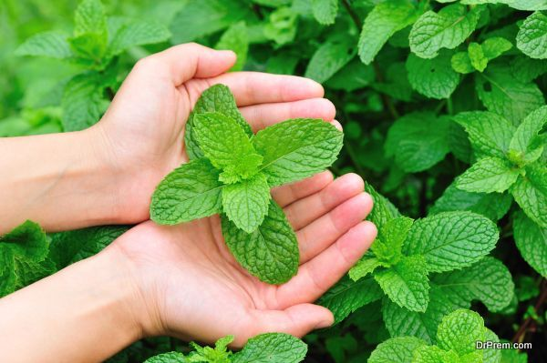 hands protect mint plants