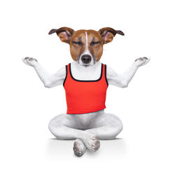 stock-photo-yoga-dog-posing-in-a-relaxing-pose-with-both-arms-open-and-closed-eyes-isolated-on-white-background-218265355