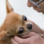 Intimate Moment_Chihuahua