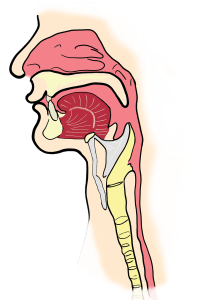 the larynx, the pharynx, anatomy