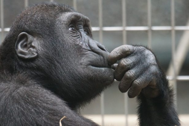 thinking- chimp