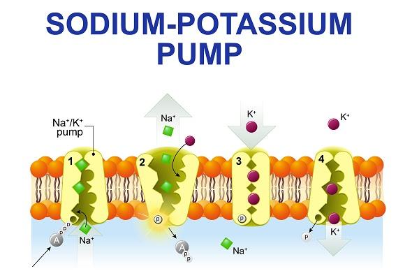 salt is needed for sodium-potassium pump