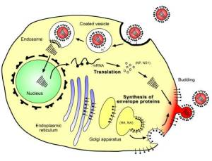 Viral Infections are pH Sensitive