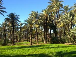 El huerto de palmeras del Camino del Pantano