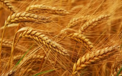Gluten: Why It Has Become Such a Problem – Part 2