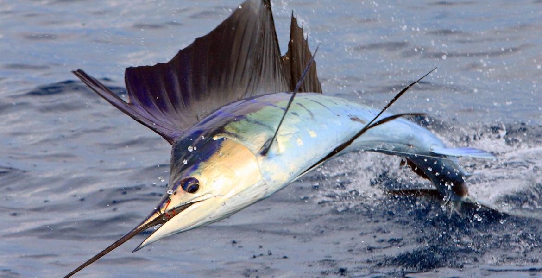 sailfish1sam1170x600