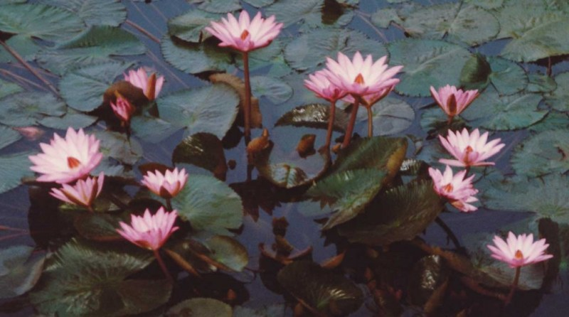 Bodhgaya-India,-Lotus-Pond