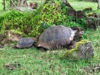 An adult and younger tortoise