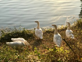 We seem to be encountering a lot of geese recently
