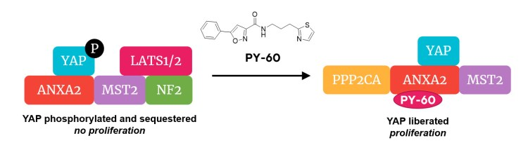 chematic of YAP release from a multi-protein complex by binding of PY-60 to ANXA2