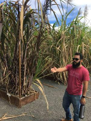Different types of cane at Kohana distillery