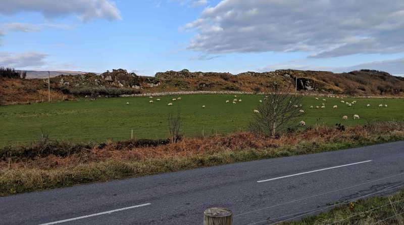 Sheep in a field in Islay