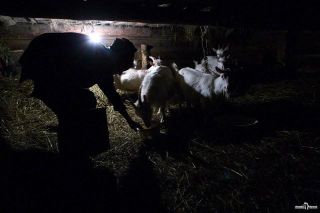 Деревенская история. Женщина кормит коз