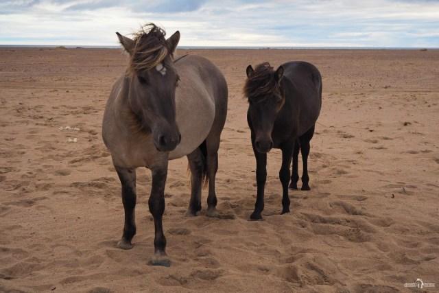 Кузомень. Якутские лошади