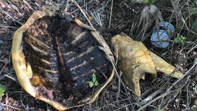 Photo of Encuentran restos de tortuga en Mahahual