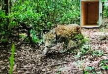 Photo of El jaguar Cóvi regresa a la selva