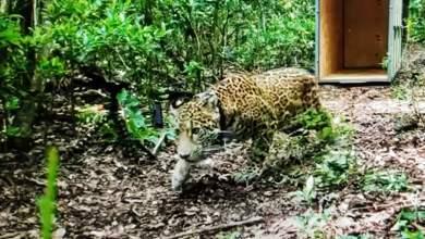 Photo of El jaguar Cóvi regresa a la selva