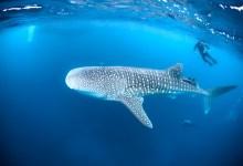 Photo of Quintana Roo registra la mayor concentración de tiburón ballena en el mundo