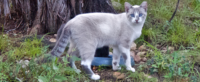 Feral Cat Fridays: A Snowball In Texas
