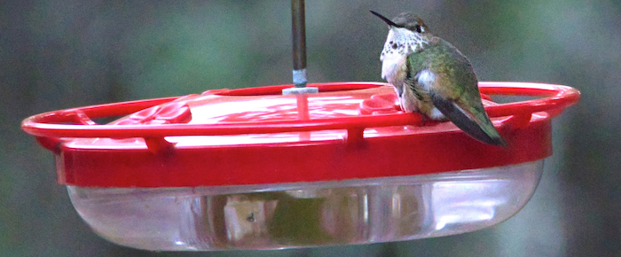 Sunday Photos: Christmas Hummingbird