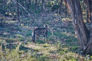 Feral cat leaving the colony territory