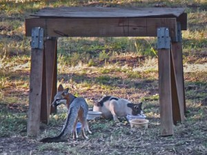 Feral cat Spotty and a gray fox at the feeding station