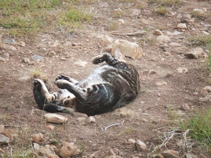 Feral cat rolls in the dirt