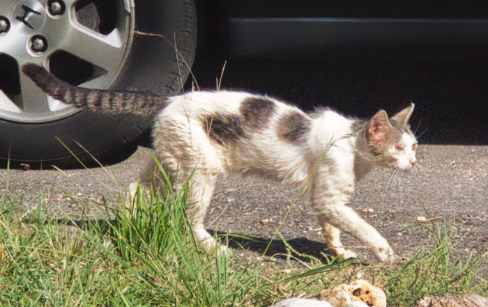 Feral cat after a fight