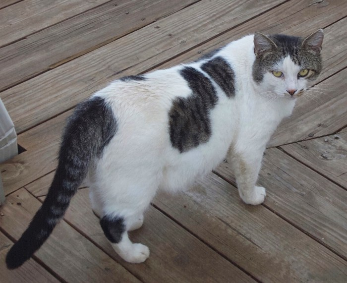 Feral cat Spotty standing on the deck