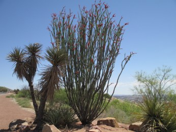 specimen Fouquieria splendens, Yucca torreyi and Dasylirion wheeleri companions