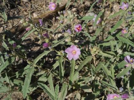 Sphaeralcea angustifolia / Narrowleaf Globemallow