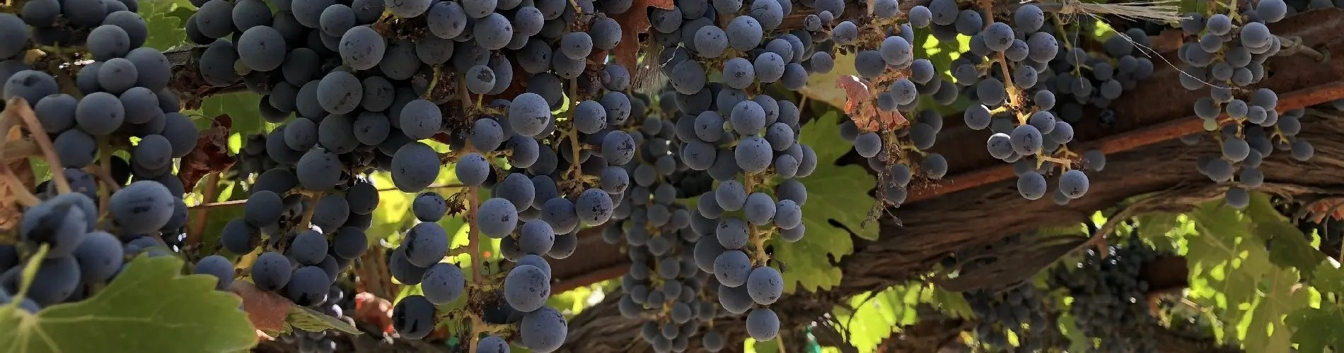 Cabernet Sauvignon vines and grapes